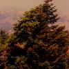 Greek fir (Κεφαλληνιακή ελάτη)