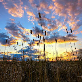 Cattails in the Sunset by Anna-Lee Nemchek Cappaert - Landscapes Sunsets & Sunrises ( water, colorful, wetlands, cattails, sunset, marsh, swamp )