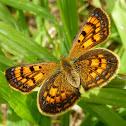 Common Copper (female)
