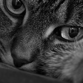 The B&W Stare by Luis Mendez - Black & White Animals ( look, cat, black and white, stare, glare, eyes,  )