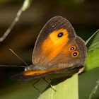 Orange Bushbrown