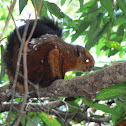 spotted giant flying tree squirrel