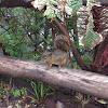 Poas Squirrel
