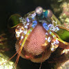 Peacock Mantis Shrimp carrying Eggs