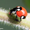 Ladybeetle with aphid