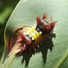 Mottled cupmoth larva