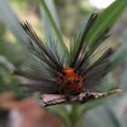 Polka-dot oleander moth caterpillar