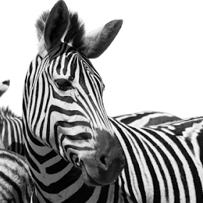 Black and white by Debbie Aird - Animals Other Mammals ( wild, animals, nature, black and white, wildlife, zebra, stripes, close up, portrait, mammal )