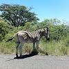 Berchell Zebra