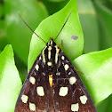 Agaristine Moth
