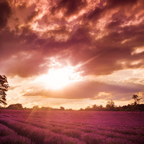 Lavender Field by Shaheen Razzaq - Landscapes Prairies, Meadows & Fields ( field, tree, lavender field, sunset, stormy clouds, lavender, the mood factory, mood, lighting, sassy, pink, colored, colorful, scenic, artificial, lights, scents, senses, hot pink, confident, fun, mood factory  )