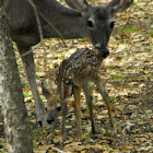 White-tailed Deer (The Intro)