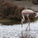 Greater Flamingo;