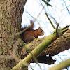 Eekhoorn (Squirrel)