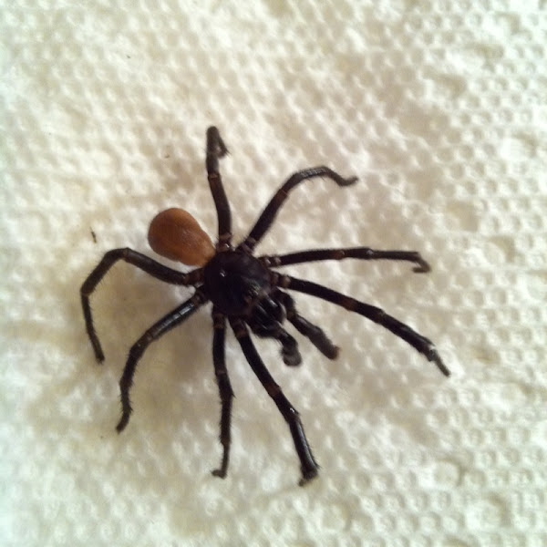 Spider Brown Stripe Black Bottom Scenes
