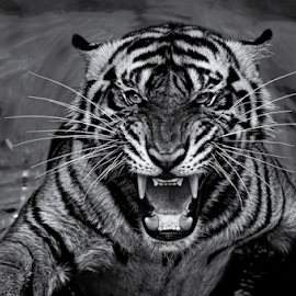 by Robert Cinega - Black & White Animals ( black and white, animal )