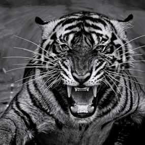 by Robert Cinega - Black & White Animals ( black and white, animal )