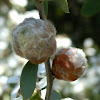 Midge galls on coastal tea tree