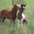 Chincoteague pony foals