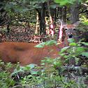 Deer - White tailed deer