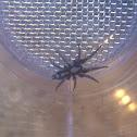 Parson Spider