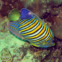 Bluebanded Angelfish