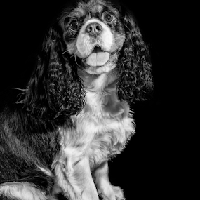 Eddie  by Parker Lord - Animals - Dogs Portraits ( somerset, spaniel, lord parker photography, taunton, dog, portrait )