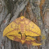 Imperial Moths (mating)