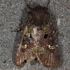 Bristly Cutworm
