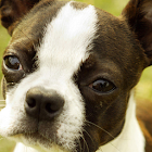 Boston Terrier Puzzle icon
