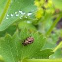 Nut Leaf Weevil