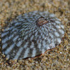 Dall's Limpet