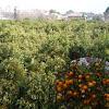 Naranjo o naranjo dulce. Huerta de Murcia