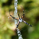 Black-and-yellow Argiope Spider