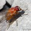 Muscid Fly