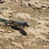 Whip-tailed Lizard