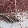 Brown bush cricket