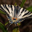 Chupaleche (Scarce Swallowtail)
