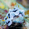 Chromodoris dianae laying an egg ribbon