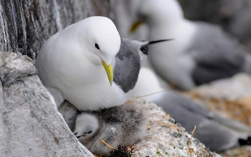 Seagull Bird HD Wallpaper