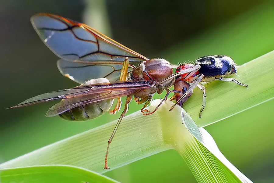 Big prey by Helnis Susanto Johannis - Animals Insects & Spiders