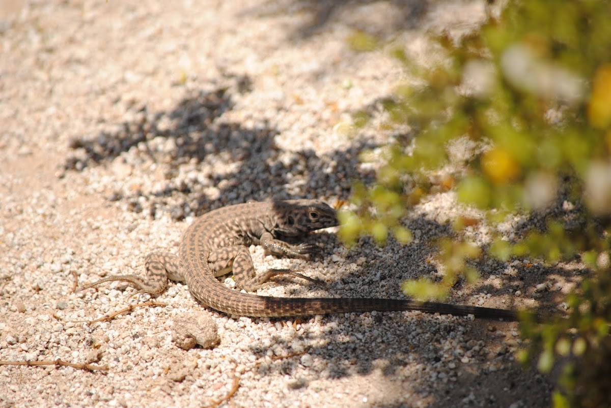 Great Basin  Whiptail