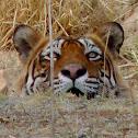 Bengal Tiger, T24