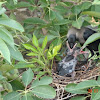 House Crow and nest