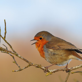A singing Robin by Tony Steele - Animals Birds ( robin )