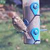Purple Finch (Juvenile)