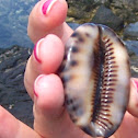 Reticulated Cowry