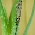 Giant Casemaker caddisfly