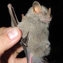 Hairy Big-Eyed Bat
