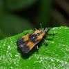 Hispinae beetle
